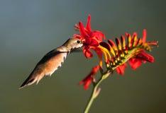 Alimentation Rufous de colibri Image stock