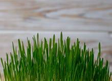 Alimentation saine verte de régime de forme physique de germe de blé image libre de droits