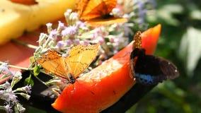 Alimentation tropicale de papillons sur le nectar fruité banque de vidéos