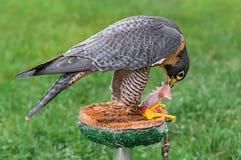 Alimentations de faucon pérégrin sur la perche photographie stock