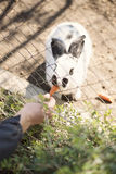 Alimentations de main du ` s de jeune homme un lapin blanc avec des carottes par une barrière dans un zoo Image libre de droits