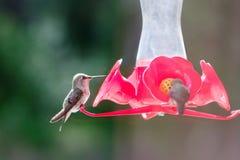 Alimentatore attivo dell'uccello di ronzio Fotografie Stock Libere da Diritti
