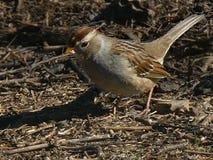Alimentazione al suolo acerba del passero dal collare bianco Fotografia Stock