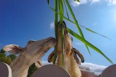 Alimentazione alle pecore Fotografia Stock Libera da Diritti