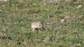 Alimentazione anatolica dello scoiattolo a terra di Souslik archivi video