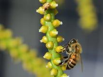 Alimentazione apicola Fotografia Stock