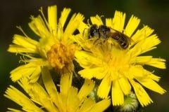 Alimentazione apicola sul fiore giallo Immagine Stock