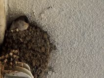 Alimentazione aspettante del pulcino nel nido dell'argilla video d archivio