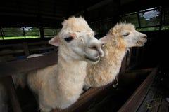 Alimentazione aspettante dell'alpaga dentro l'azienda agricola Fotografie Stock Libere da Diritti