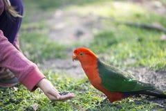 Alimentazione australiana del pappagallo di re Fotografie Stock