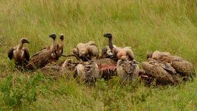 Alimentazione dal dorso bianco degli avvoltoi Immagine Stock Libera da Diritti