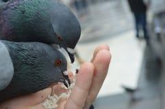 Alimentazione degli alcuni piccioni Immagine Stock