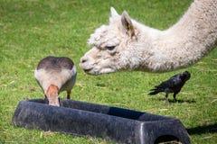 Alimentazione degli animali all'azienda agricola Fotografie Stock Libere da Diritti