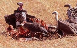Alimentazione degli avvoltoi   Immagine Stock