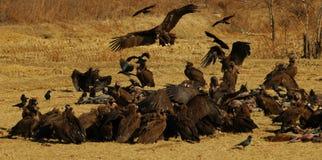 Alimentazione degli avvoltoi Fotografia Stock