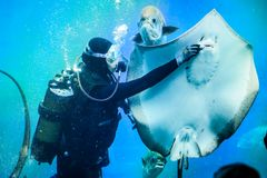 Alimentazione degli stingray, l'acquario, l'operatore subacqueo immagine stock