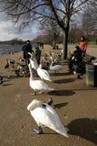 Alimentazione degli uccelli in Hyde Park, Londra, Regno Unito Fotografia Stock
