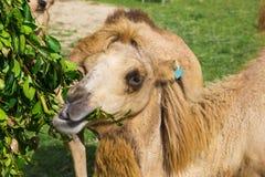Alimentazione dei cammelli bei Fotografia Stock Libera da Diritti