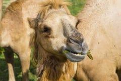 Alimentazione dei cammelli bei con un fronte felice Fotografie Stock Libere da Diritti