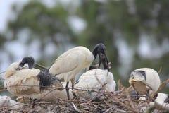 Alimentazione dei giovani bianchi dell'Ibis Fotografia Stock Libera da Diritti