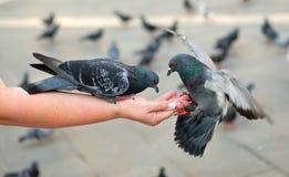 Alimentazione dei piccioni Fotografia Stock