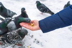 Alimentazione dei piccioni affamati dalle mani Fotografia Stock