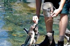 Alimentazione dei pinguini Fotografie Stock