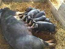Alimentazione dei porcellini Immagini Stock Libere da Diritti