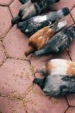 Alimentazione dei sei piccioni Fotografia Stock Libera da Diritti