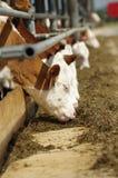 Alimentazione dei vitelli Fotografia Stock Libera da Diritti