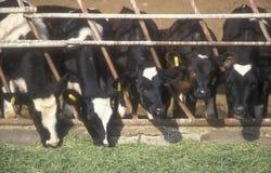 Alimentazione del bestiame Immagine Stock Libera da Diritti