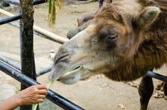 Alimentazione del cammello Fotografia Stock