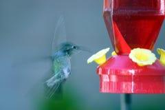 Alimentazione del colibrì. Immagini Stock