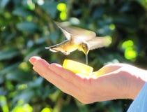 Alimentazione del colibrì Fotografie Stock