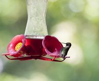 Alimentazione del colibrì Fotografia Stock Libera da Diritti
