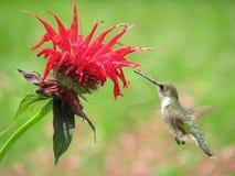 Alimentazione del colibrì Fotografie Stock Libere da Diritti