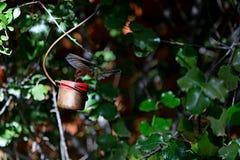 Alimentazione del colibrì Fotografia Stock