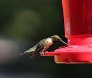 Alimentazione del colibrì Immagini Stock