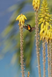 alimentazione del colibrì del Rubino-topaz Fotografia Stock