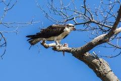Alimentazione del falco pescatore Immagini Stock Libere da Diritti
