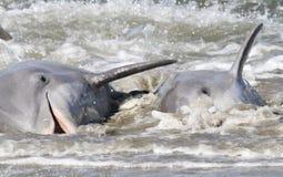 Alimentazione del filo del delfino Fotografia Stock
