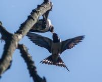 Alimentazione del grosbeak della Rosa-breasted Fotografia Stock