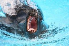 Alimentazione del leone di mare Immagini Stock Libere da Diritti