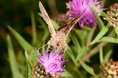 Alimentazione del lepidottero Fotografia Stock