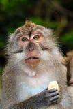 Alimentazione del macaco di cibo del granchio Fotografie Stock