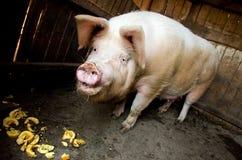 Alimentazione del maiale Immagine Stock