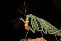 Alimentazione del Mantis di preghiera Fotografie Stock