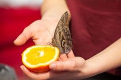 Alimentazione del memnon di caligo della farfalla del gufo con un'arancia fresca Fotografia Stock Libera da Diritti