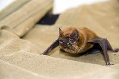 Alimentazione del pipistrello fotografia stock libera da diritti