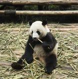 Alimentazione del panda fotografie stock libere da diritti